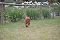 Banksia Park Puppies Chuck