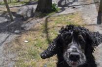Banksia Park Puppies Doug
