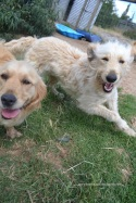 Banksia Park Puppies Ellen