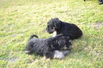 Banksia Park Puppies Finley's litter - 8990