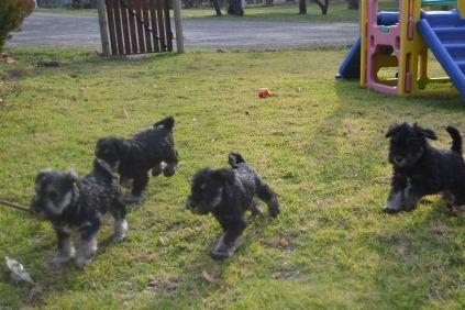 Banksia Park Puppies Finley's litter