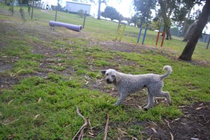 banksia-park-puppies-jack-1-of-11