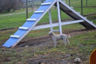 banksia-park-puppies-jack-11-of-11