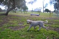 banksia-park-puppies-jack-2-of-11