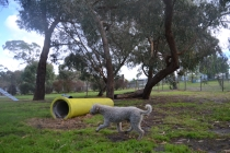 banksia-park-puppies-jack-4-of-11