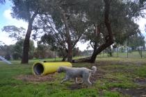banksia-park-puppies-jack-4-of-11