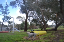 banksia-park-puppies-jack-5-of-11