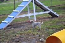 banksia-park-puppies-jack-8-of-11