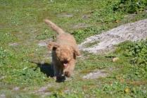 Banksia Park Puppies Kayla - 10 of 38