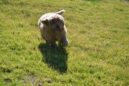 Banksia Park Puppies Kayla - 11 of 38