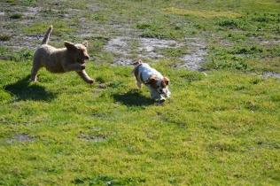 Banksia Park Puppies Kayla - 12 of 38