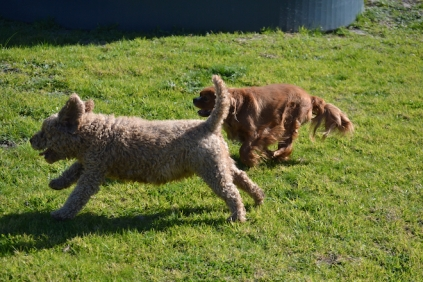 Banksia Park Puppies Kayla - 14 of 38