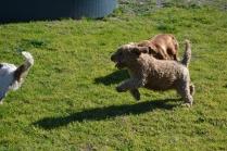 Banksia Park Puppies Kayla - 15 of 38