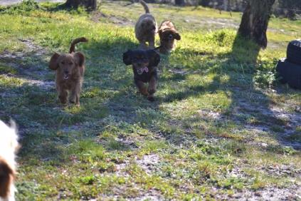 Banksia Park Puppies Kayla - 22 of 38