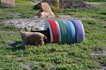 Banksia Park Puppies Kayla - 27 of 38