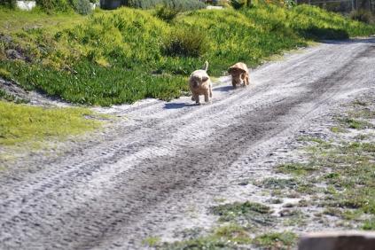 Banksia Park Puppies Kayla - 3 of 38