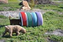 Banksia Park Puppies Kayla - 30 of 38