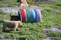 Banksia Park Puppies Kayla - 32 of 38