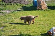 Banksia Park Puppies Kayla - 37 of 38