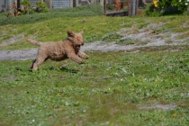 Banksia Park Puppies Kayla - 6 of 38