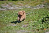 Banksia Park Puppies Kayla - 9 of 38