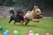 Banksia Park Puppies Kev