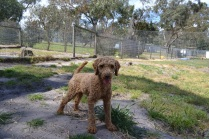 Banksia Park Puppies Kev