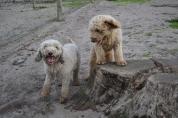 Banksia Park Puppies Kiki and Brutus - 3
