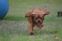 Banksia Park Puppies Lance