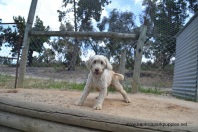 Banksia Park Puppies Margy