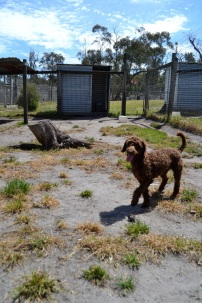 Banksia Park Puppies MayBee