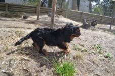 Banksia Park Puppies Mitzy