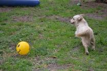 Banksia Park Puppies Oprah