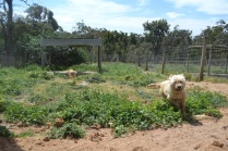 Banksia Park Puppies Penny
