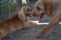 Banksia Park Puppies Pipita