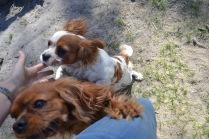Banksia Park Puppies Ravi Lance - 14 of 47