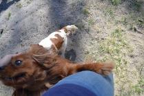 Banksia Park Puppies Ravi Lance - 15 of 47