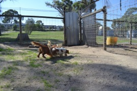 Banksia Park Puppies Ravi Lance - 33 of 47