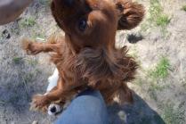 Banksia Park Puppies Ravi Lance - 6 of 47