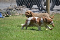 Banksia Park Puppies Red