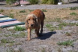 Banksia Park Puppies Sami - 1 of 15 (1)