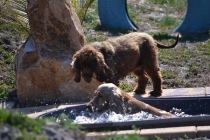 Banksia Park Puppies Sami - 1 of 15 (10)