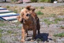 Banksia Park Puppies Sami - 1 of 15 (11)