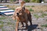 Banksia Park Puppies Sami - 1 of 15 (2)