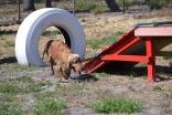 Banksia Park Puppies Sami - 1 of 15 (3)