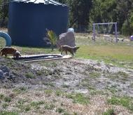 Banksia Park Puppies Sami - 1 of 15 (4)