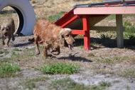 Banksia Park Puppies Sami - 1 of 15 (5)