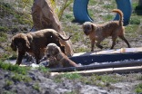Banksia Park Puppies Sami - 1 of 15 (6)