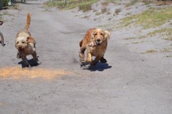Banksia Park Puppies Sami - 1 of 15 (8)
