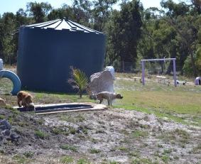 Banksia Park Puppies Sami - 1 of 15 (9)